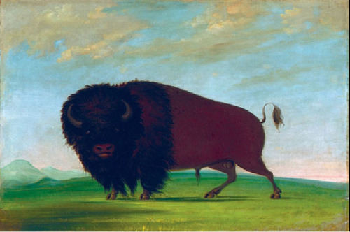 George Catlin, Buffalo Bull, Grazing on the Prairie, 1832-1833, oil on canvas, Smithsonian American Art Museum, Gift of Mrs. Joseph Harrison, Jr.  (PRNewsFoto/National Museum of Wildlife)