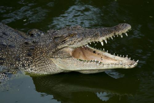 """Crocodile Mick"" Pitman has spent 30 years hunting crocodiles like this one.  (PRNewsFoto/Crystal ..."