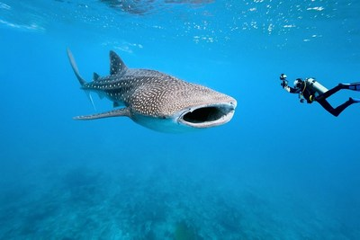 Swimming with Whale Sharks in the Yucatan Peninsula