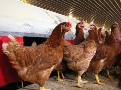 Barn-raised birds in front of nest boxes.  (PRNewsFoto/Humane Farm Animal Care)