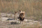 Rescued African Lions roaming freely at The Wild Animal Sanctuary.(PRNewsFoto/The Wild Animal Sanctuary (Rocky Mountain Wildlife Conservation Center))