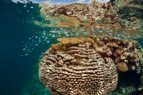 Coral grows in the foreground, with blue chromis fish schooling over the top. Hao Atoll, French Polynesia.  ...