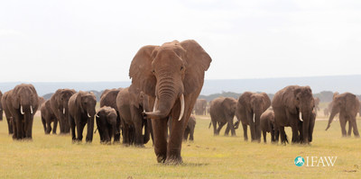 African elephant populations denied greater protection at CITES, (c) IFAW-ATE/V. Fishlock.