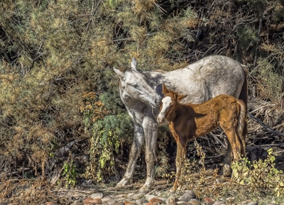 Mom and young foal share a tender moment. The Salt River Wild Horses live around the Lower Salt River and surrounding desert in the Tonto National Forest near Phoenix, Arizona