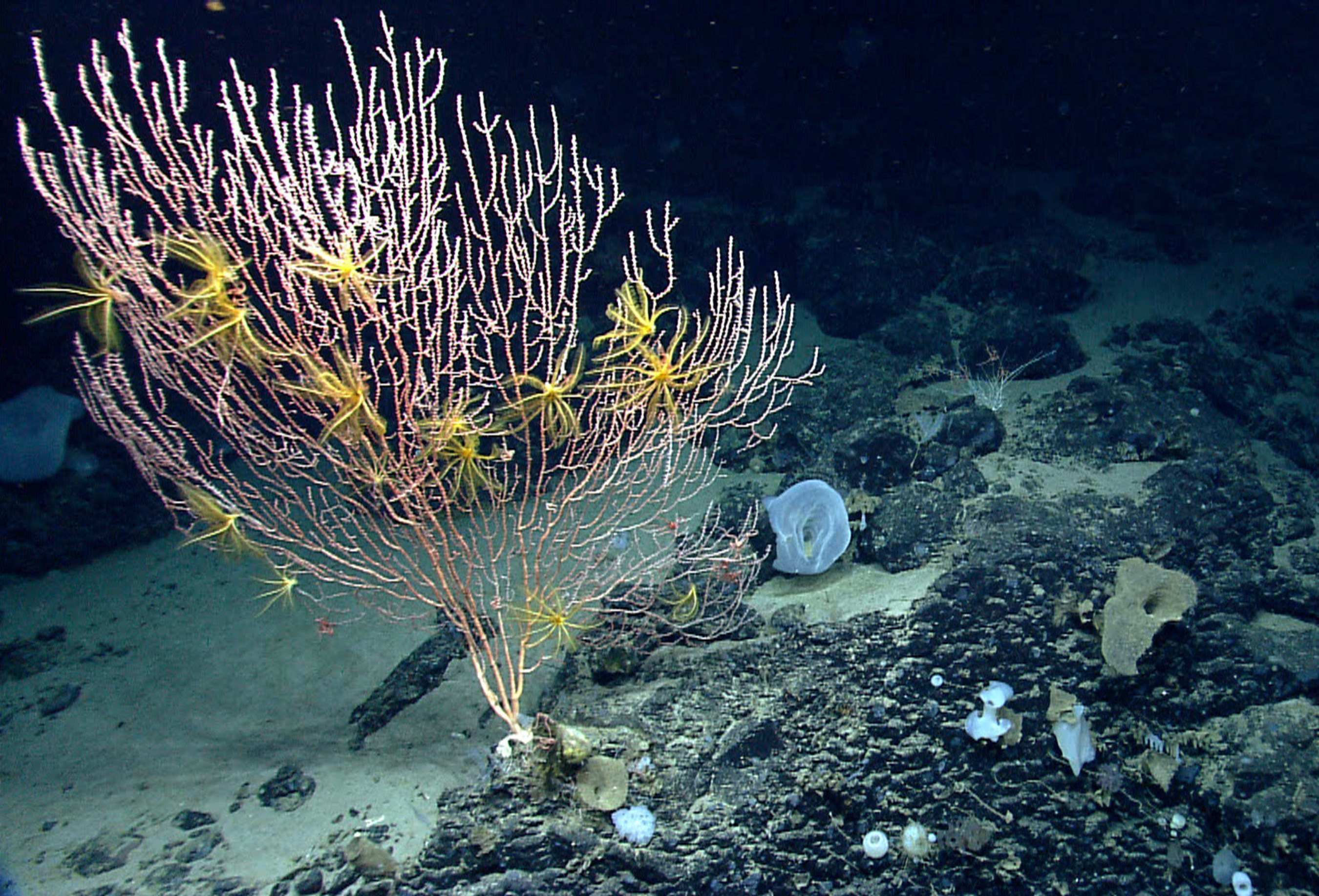 On Mytilus Seamount, a bamboo coral is attached to the black basalt rock formed by a now-extinct undersea volcano. The yellow animals on the coral are crinoids, or sea lilies, in the same major group of animals as sea stars. The summit of Mytilus Seamount is 8,800 ft below the surface of the ocean. Photo: NOAA Okeanos Explorer Program, 2013 Northeast U.S. Canyons Expedition Science Team