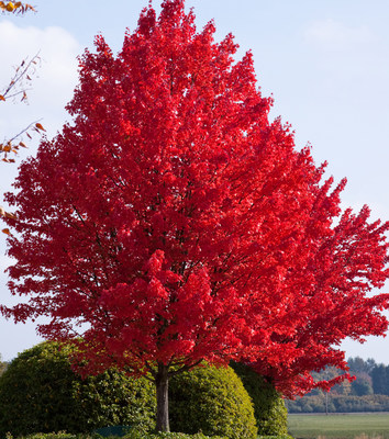 Autumn Blaze Red Maple leaves turn bright red in the fall, making a dramatic, eye-catching statement in any landscape.