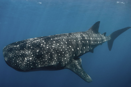 Whale Shark off of the Honduran Coast.  All sharks are now protected in Honduran waters.  (PRNewsFoto/Pew ...