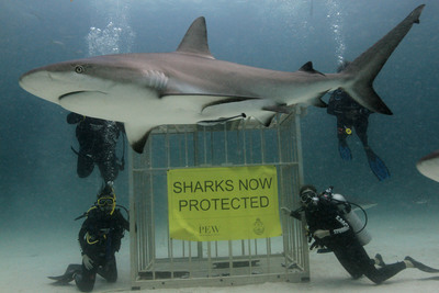 Sharks in The Bahamas can breathe more easily after the nation's government announced today that all commercial shark fishing in the country's waters is now prohibited.  (PRNewsFoto/Pew Environment Group/Stuart Cove's Dive Photo)