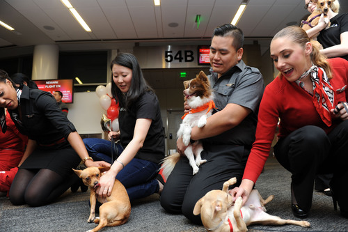 Virgin America in-flight teammates play with Chihuahua pups being flown to EWR onboard Virgin America's ...
