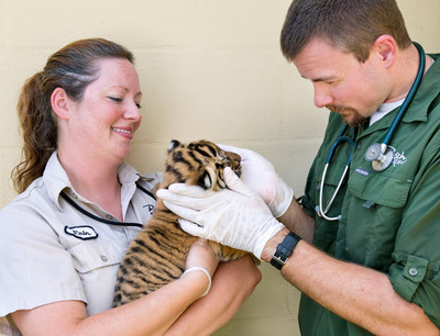 The new series TV The Wildlife Docs(TM) premieres this fall Saturday mornings on most ABC stations and takes viewers behind the scenes with the Busch Gardens Tampa zoological team and the 12,000 animals in their care. Here, employees Erin Kovencz and Dr. Peter Black examine a new baby tiger cub.  (PRNewsFoto/SeaWorld Parks & Entertainment)