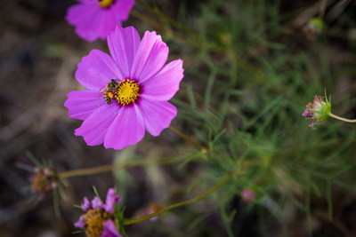 More than 50 million wildflowers will be planted at four different sites across the nation as part of the Feed a Bee planting tour.
