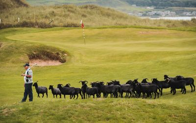 Golfers at Machrihanish Dunes can enjoy the company of the 'Natural Lawnmowers' when they play a round in the winter months. (PRNewsFoto/Visit Scotland)