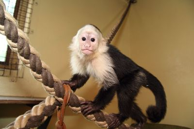 The famous white-headed capuchin Mally has found his future home at the Serengeti-Park Hodenhagen (Germany). Currently he is in quarantine, which will last another three weeks. Following this, Mally will be carefully integrated in to his new monkey family.