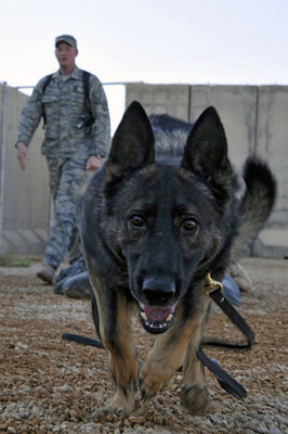 Working dogs are involved in the military and law enforcement.  Keeping them healthy is a top priority for the veterinarians who specialize in their care.  (PRNewsFoto/Association of American Veterinary Medical Colleges)