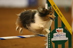 A Shetland Sheepdog takes a jump at the Dog Agility World Championships.