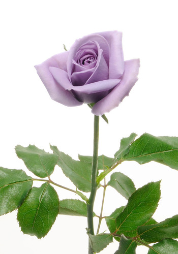 The World's First* Blue Rose - blue rose APPLAUSE