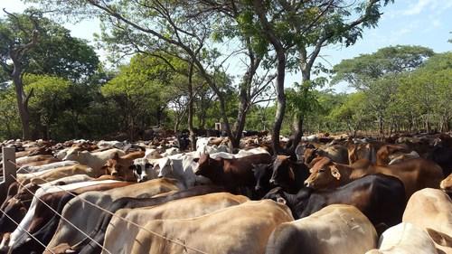 Feeding cattle at Ilobezi in Zambia's Southern Province (PRNewsFoto/AgDevCo)