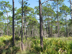 SFI & AFF Announce Innovative Project to Promote Longleaf Pine Conservation