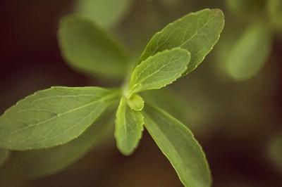 A PureCircle stevia plant.