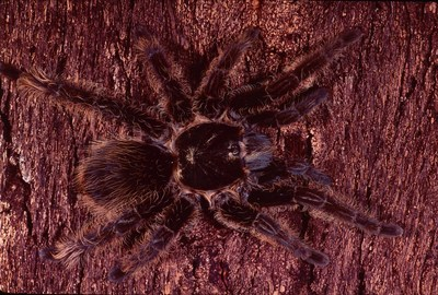 More than 950 Petco stores nationwide now have 25 tarantula species available, including 12 temperate and 13 tropical breeds.
