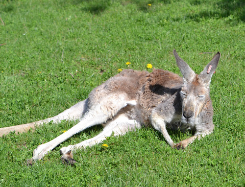 Suli's Story: A Red Kangaroo's Battle with Cancer