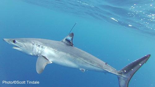 Shortfin mako shark with tracking satellite tag attached to its dorsal fin. Nova Southeastern University ...