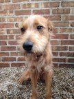 Scrappy, a two-year old Irish Terrier mix, is in serious condition with K-9 influenza at Found Chicago dog rescue