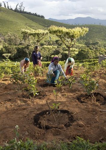 Women taking care of newly planted tea bushes by applying organic manure. UTZ certified tea estate located in the Nilgiris District in the Indian state of Tamil Nadu