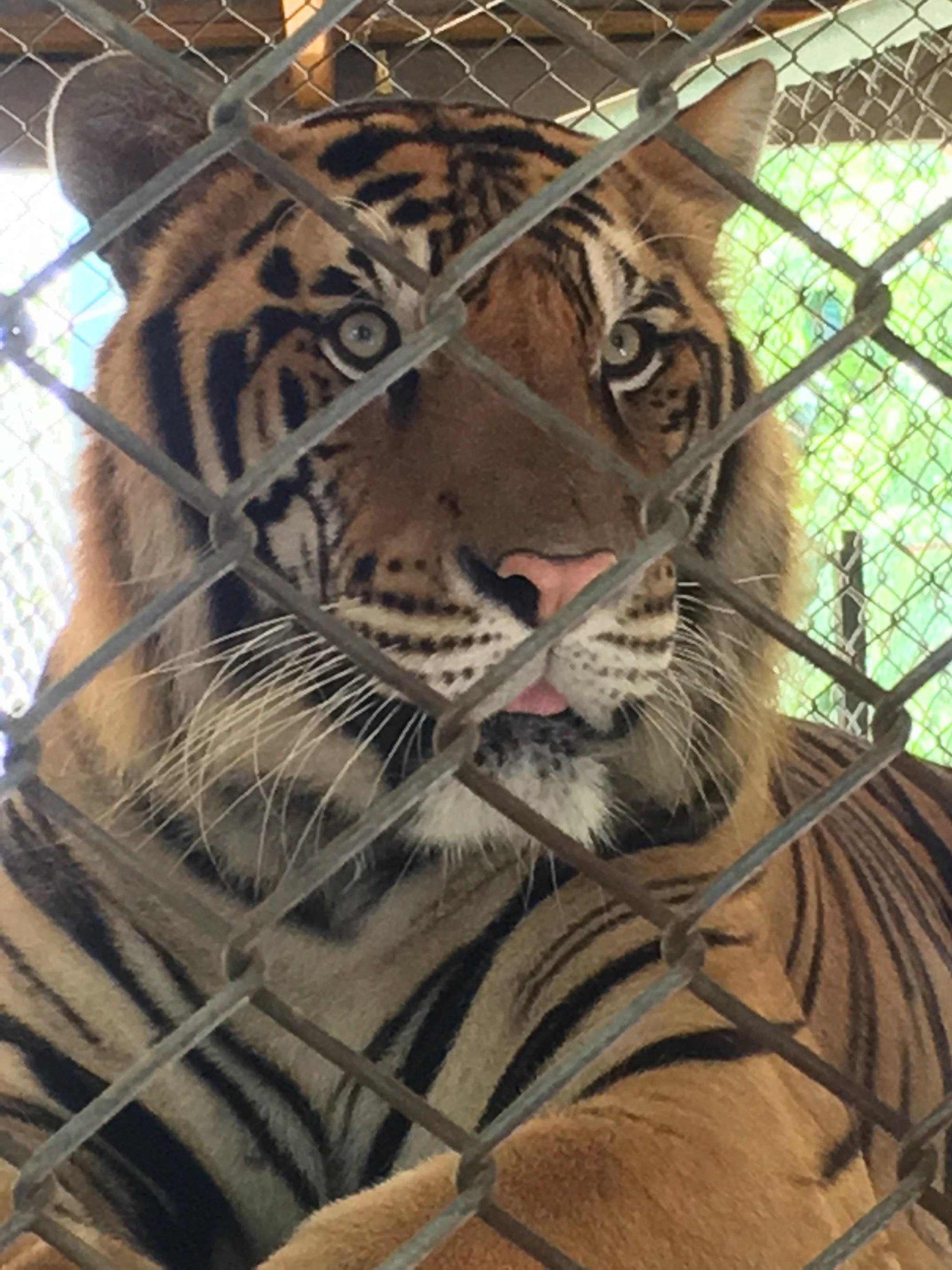 Captive tiger at a tourist facility in Thailand. World Animal Protection believes that wild animals belong in the wild and should not be used for our entertainment.