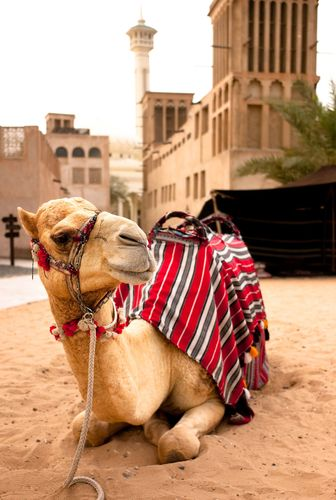 Camel milk and camel meat are on the menu at Camellos outlets