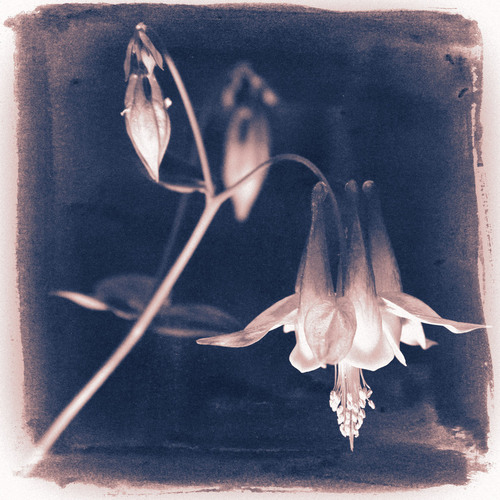 This flower uses the vintage cyanotype photography process along with split toning. The new texture overlay feature simulates a hand painted emulsion.  (PRNewsFoto/Alien Skin Software)
