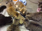 """A clowder of cats engrossed by """"Game for Cats,"""" a tablet video game designed for animals."""