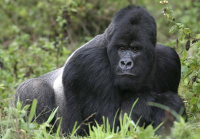 Photo credit: erwinf 800lb Gorilla for Web-Impac