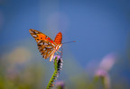 Gulf fritillary at Hagerman National Wildlife Refuge in Texas | Credit: Freddie Beckwith, Fourth Place Winner