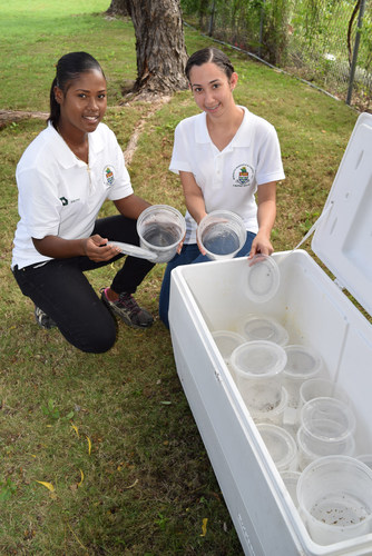 Giselle Johnson and Heidi Groves take pots of genetically modified mosquitoes from the cooler to release in the  ...