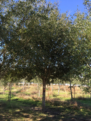 Apache Corporation marks the 10th anniversary of the company's Tree Grant Program with the donation of its 4 millionth tree, pictured above, to the City of Houston.