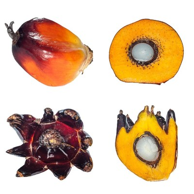 Healthy (top) versus mantled (bottom) oil palm fruit. Mantled fruit have commercially unviable yields of oil and occur in an unpredictable number of oil palms propagated through cloning.