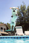 Shayna, a leaping Lab from Florida.  (PRNewsFoto/Veterinary Pet Insurance)