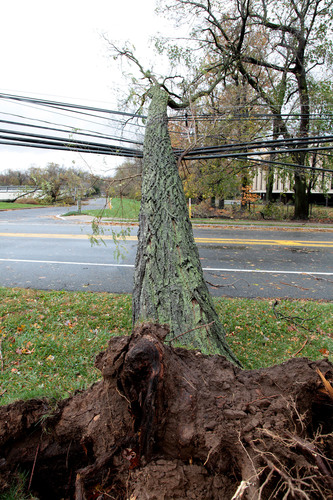 A large tree uprooted by Hurricane Sandy rests on power and other utility lines over Rt. 124 in Morristown, NJ.  ...