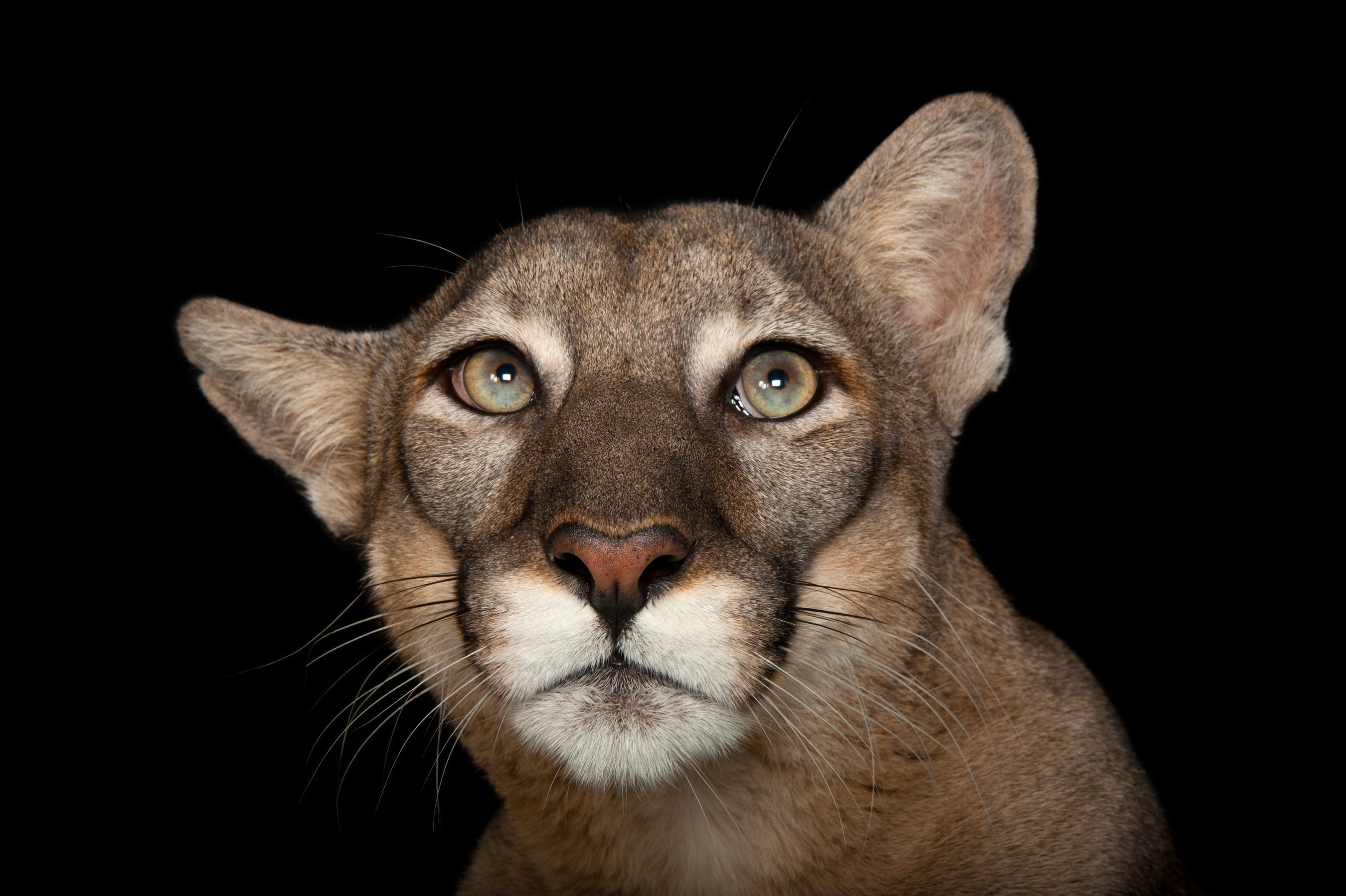 A Florida panther (Puma concolor coryi) named Lucy at Tampa's Lowry Park Zoo. Credit: Joel Sartore/National Geographic Photo Ark