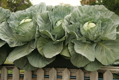 Growing in portable containers can significantly increase the season for fall vegetable gardens by making it easy to maximize sun and protect against frost. Cabbage (shown here), carrots, lettuce, peas, beets and cauliflower are just a few of the vegetables that thrive in cool weather. (PRNewsFoto/EarthBox)