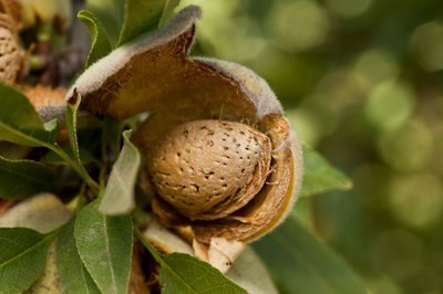 Almond trees produce three products, all of which are used. The hulls are sold as livestock feed, shells are used to create electricity and as livestock bedding, and the kernel is the nutrient-rich almond we eat.