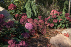 After providing great summer flower color, BloomStruck(R) Hydrangeas' leaves turn a rich, deep red -- the ideal touch for a fall landscape.