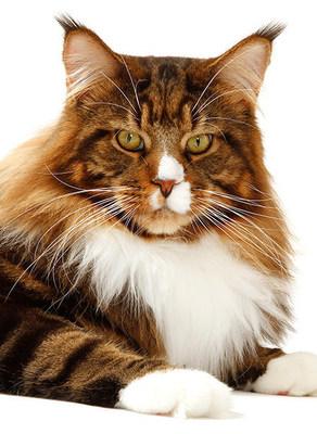 TICA Best Cat Sabrecats Pavoratti of Gigantcat