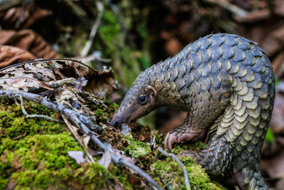 IFAW: Pangolins win at CITES (c) M. Shavez/1StopBrunei Wildlife