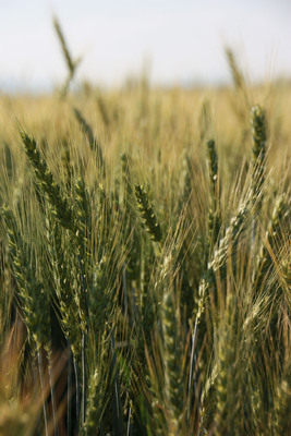 By 2020, 100 percent of General Mills' wheat will be sourced from growing regions that demonstrate continuous improvement against the Field-to-Market framework of comparable environmental metrics.  (PRNewsFoto/General Mills)
