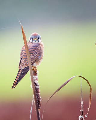 American Kestrel at Ridgefield National Wildlife Refuge in Wash. | Credit: Dennis Davenport, Grand Prize Winner
