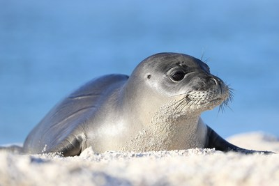 Ikaika, a male Hawaiian monk seal pup, was one of the first four patients at The Marine Mammal Center's Ke Kai Ola Hawaiian Monk Seal Hospital in Kailua-Kona, Hawaii. Credit -- Koa Matsuoka, NMFS Permit 16632-00 and 932-1905-01MA-009526-1