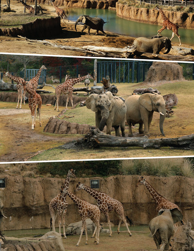 It's a first! African elephants, giraffes and ostriches explore the Dallas Zoo's Giants of the Savanna ...