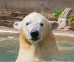 "Polar bear ""Kali"" at Buffalo Zoo on April 30, 2015. Credit Kelly Ann Brown/Buffalo Zoo"